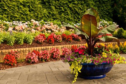Altman - Annuals Begonias (4).jpg