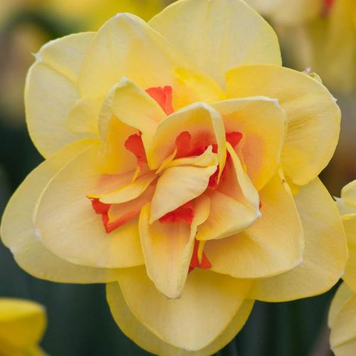 Tahitian_Daffodil.jpg