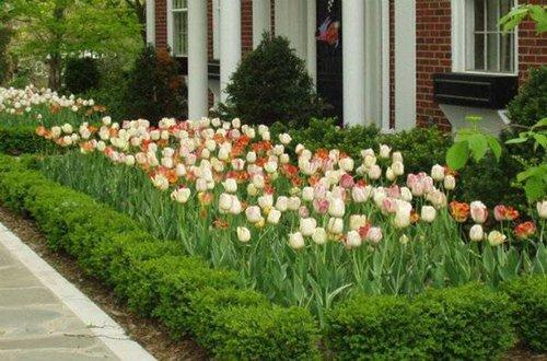 mixed_tulips.jpg